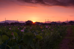 ~ハスの花畑に朝焼け~
