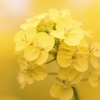~・<  菜の花  >・~