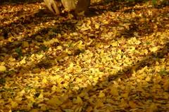 黄色の落葉