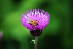 あざみとミツバチ