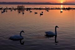 朝日と白鳥