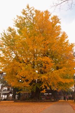 秋の大銀杏