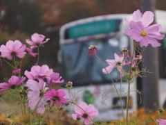 コスモスと園内バス1 2019 FUJINON F2.8 3.5cm/EPM1