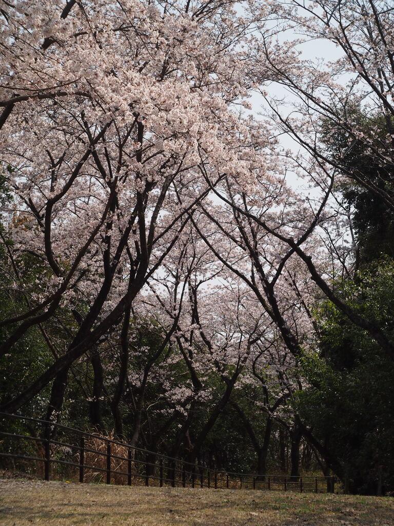 桜4 2019 FUJINON F2.8 3.5cm/EPM1
