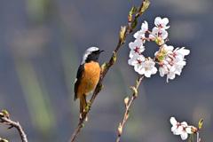 ジョウビ男、桜に見惚れる!?