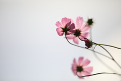 秋桜 その3