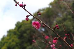 梅の花 杜を背にして 姿良し