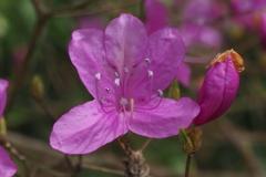 麗しき 花と蕾の ツツジかな
