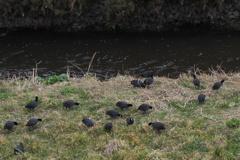 水鳥は 陸に上がりて お食事中