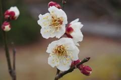 白梅や 花の言葉は 気品あり