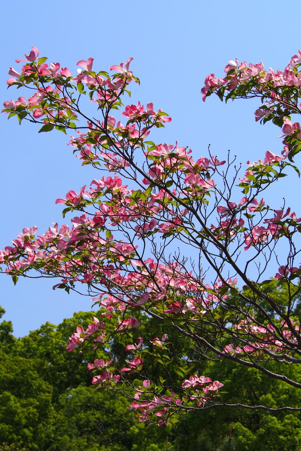 五月晴れ 緑もピンクも 清々し