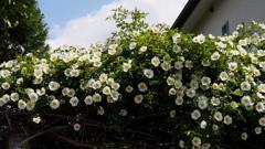 生垣のナニワイバラ(難波茨)や初夏の空