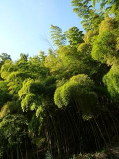 崖急に 宙に向かいて 冬の竹