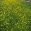 菜の花や 土手一面に 色自慢