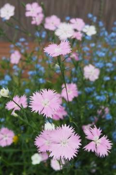 青花を バックにナデシコ 美しし