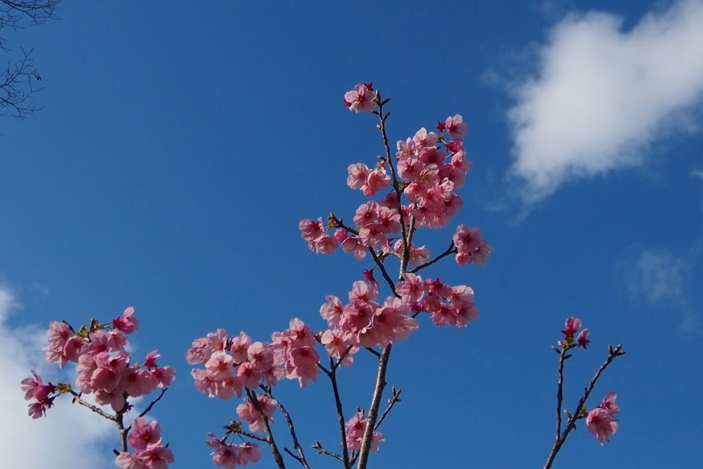 お先にと 陽光桜 微笑みて