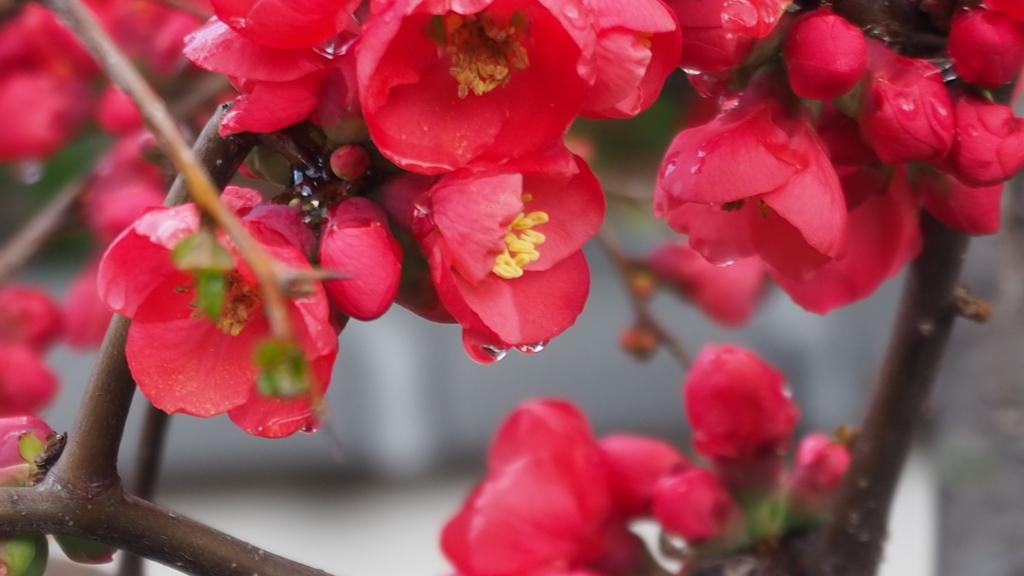 雨垂れに 潤い増すや 木瓜の花
