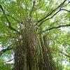 枝拡げ 木陰つくるや 桂の木
