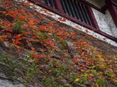 石垣に 蔦縦横に 色をなす