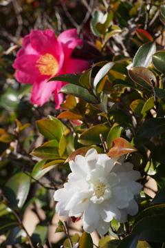 紅白の 山茶花二輪 祝い咲き