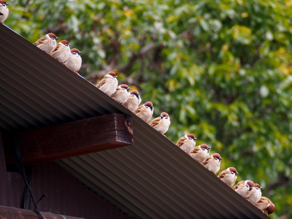 小屋の屋根 すずめ一列 司令待つ