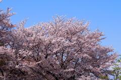 青空に 桜満開 今見頃