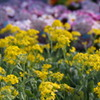 アリッサム 菜の花ごとし 元気色
