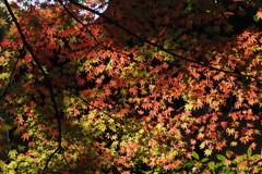 逆光の 紅葉見上げる 美の世界