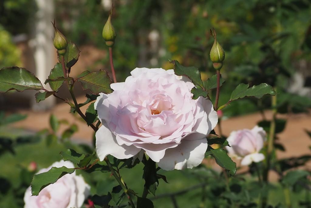 秋薔薇や つぼみ従え ロイヤル風