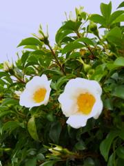 生垣の装い新た初夏の花