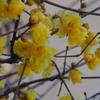 蝋梅や 見つけて嬉し 春思ふ