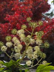 時移り 初冬に咲くや ヤツデ花
