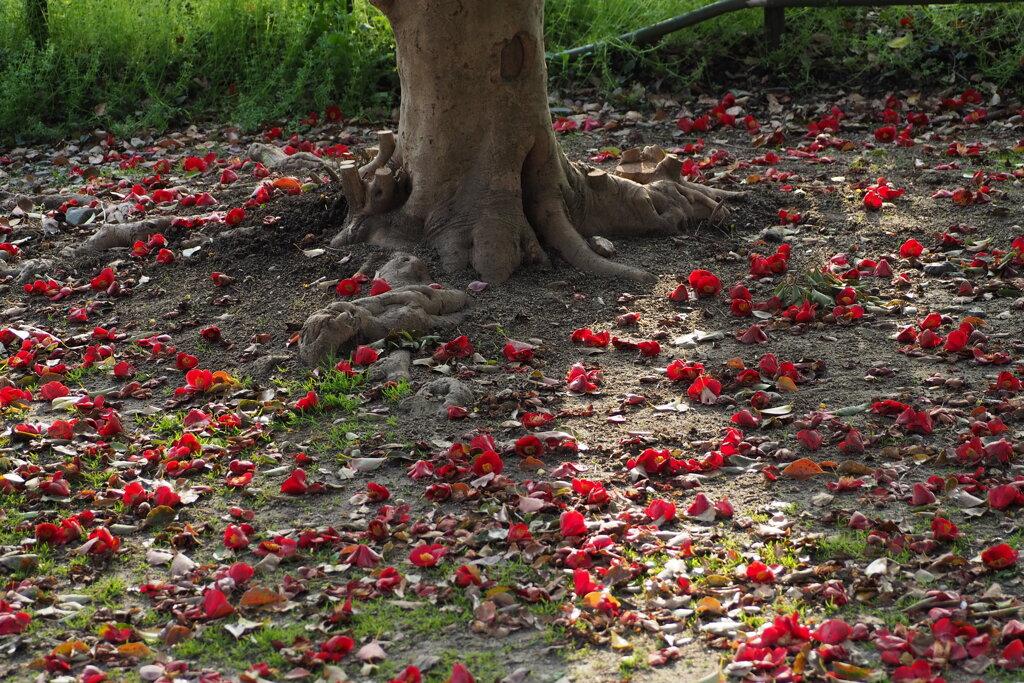 晩春や 椿の落花 幹周り