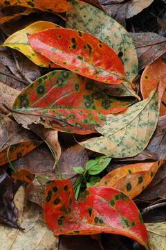 ヴヴットに 秋知らせるや 落ち葉かな