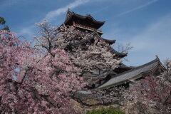 春の城 桜囲まれ 優美なり