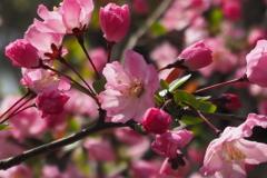 陽光に 透かしピンクの 花海堂