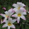咲きごろと サフランモドキの 四姉妹