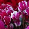 ビロードの 花びら優し シクラメン