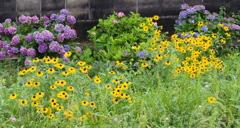 ルトベキア 紫陽花コラボ 土手斜面