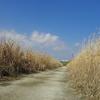 好天に 河原お散歩 ヨシの道