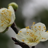 白梅は 蕊も元気に 開花せり