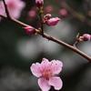 極だちて 川面の桜 色は濃し