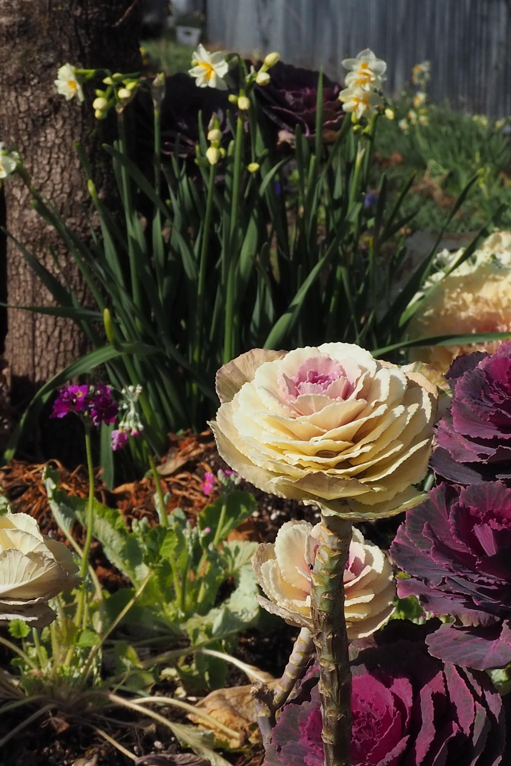 公園の 立春の花壇 三種あり