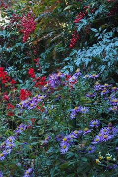 色がある サルビア・南天 菊の花