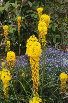 強い個性 黄色き花は アフリカ産