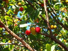 目を引くや 赤い実黄い実 いちごの木