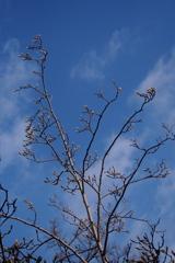 白木蓮 つぼみ上向き 凛として