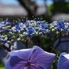 さぁ本番 花が咲きます ガクアジサイ