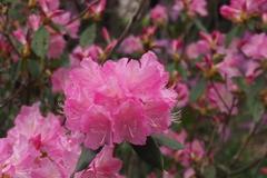 鮮やかや ピンクシャクナゲ 花満開