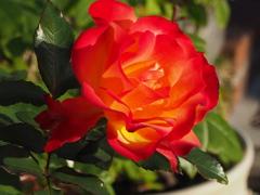 秋薔薇は 朝陽当たりて 色を増し